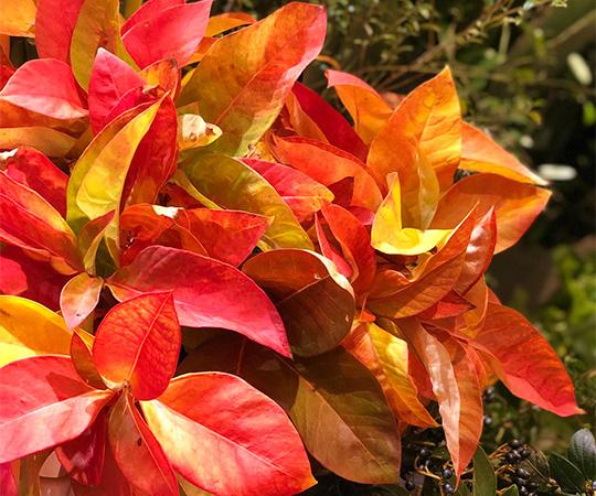 紅葉トラノオ