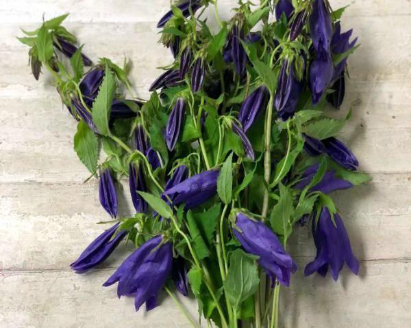 青い花 ホタルブクロ
