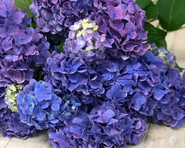 青い花 アジサイ